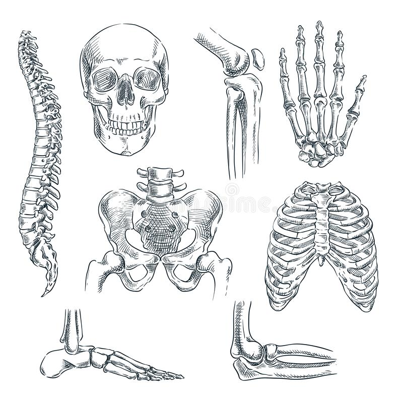 Человеческие скелет, косточки и соединения Иллюстрация вектора изолированная эскизом Набор символов анатомии doodle руки вычерчен иллюстрация вектора