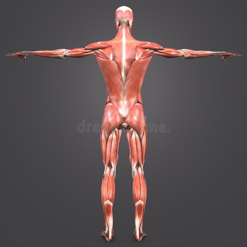 Человеческий мышечный взгляд зада анатомии иллюстрация штока