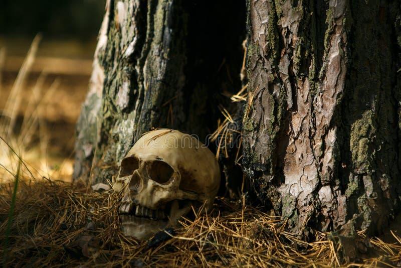 Человеческий череп в лесе на том основании около ствола дерева, взбрызнутого с иглами сосны и загоренного луч светом стоковые фотографии rf