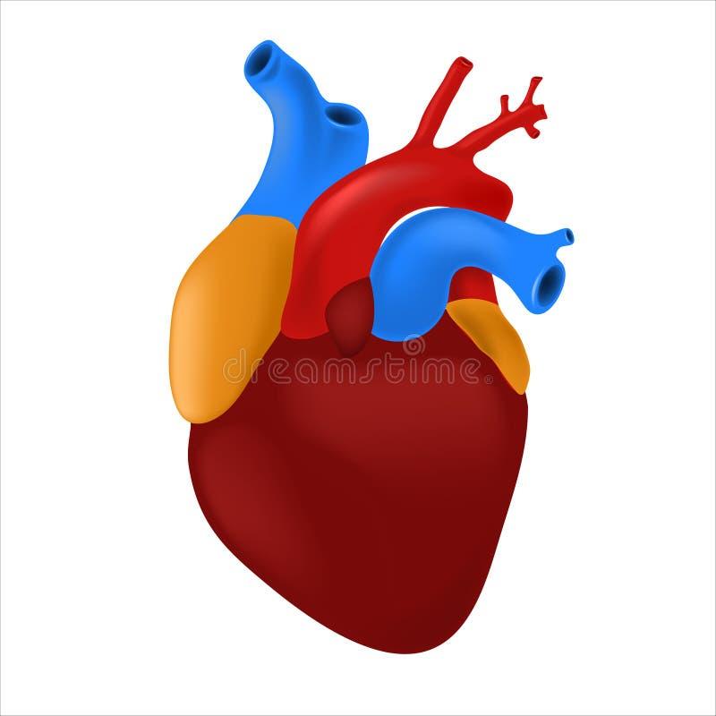Человеческое сердце с пестроткаными артериями и венами изолированными на белой предпосылке r иллюстрация штока