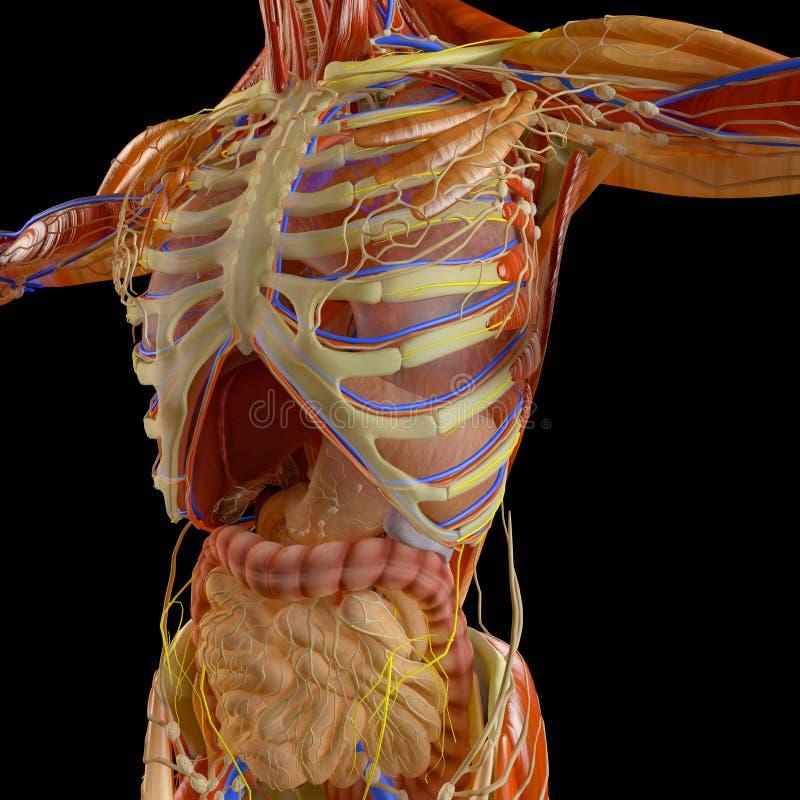 Человеческое тело, взгляд рентгеновского снимка дыхательного прибора и пищеварительный тракт в ribcage анархиста иллюстрация штока