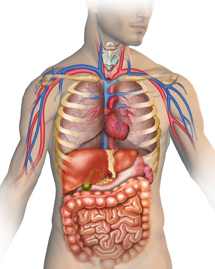 Человеческое тело иллюстрация вектора