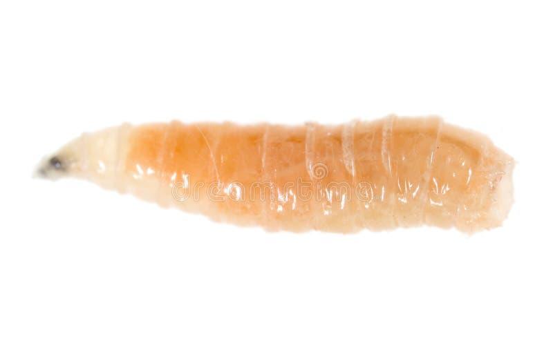 Червь личинок на белой предпосылке стоковые изображения rf