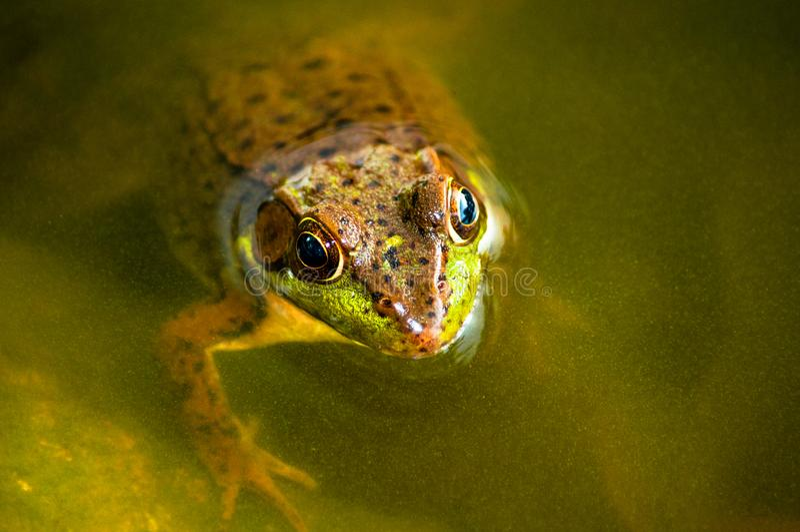 Через глаза Iquisitive лягушки Litlle стоковые фотографии rf