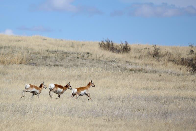 через ход прерии антилопы стоковые изображения