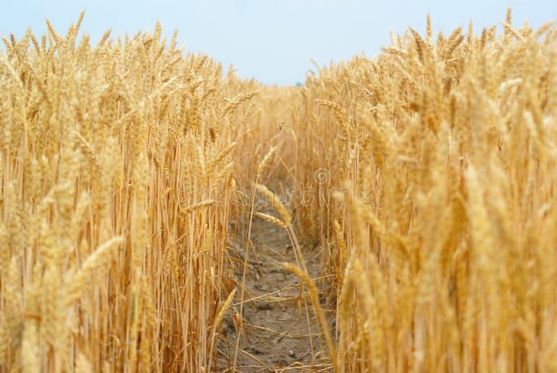 Черенок пшеницы стоковое фото rf