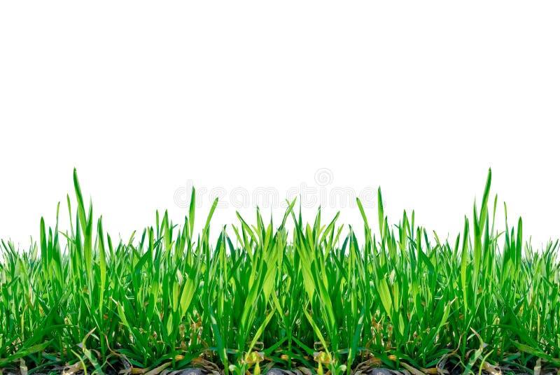 Черенок травы изолированные на белой предпосылке. стоковое фото