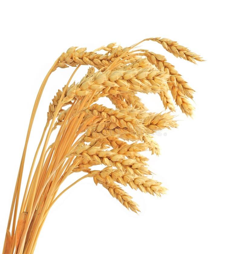 Черенок ушей пшеницы стоковая фотография