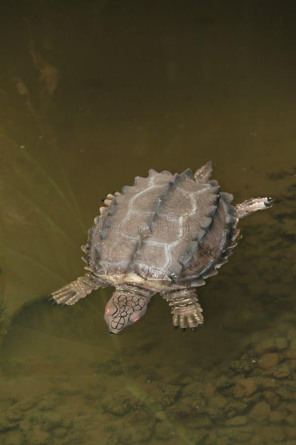 черепаха аллигатора щелкая стоковая фотография