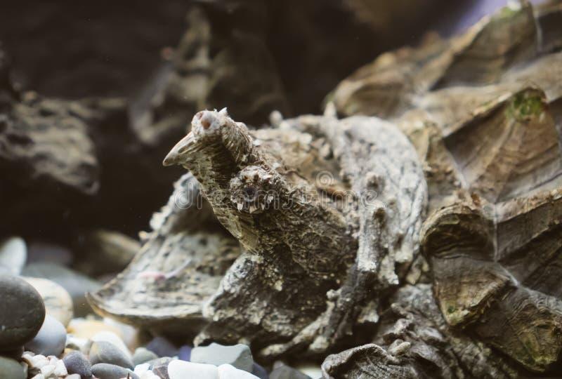 черепаха аллигатора щелкая стоковые изображения rf