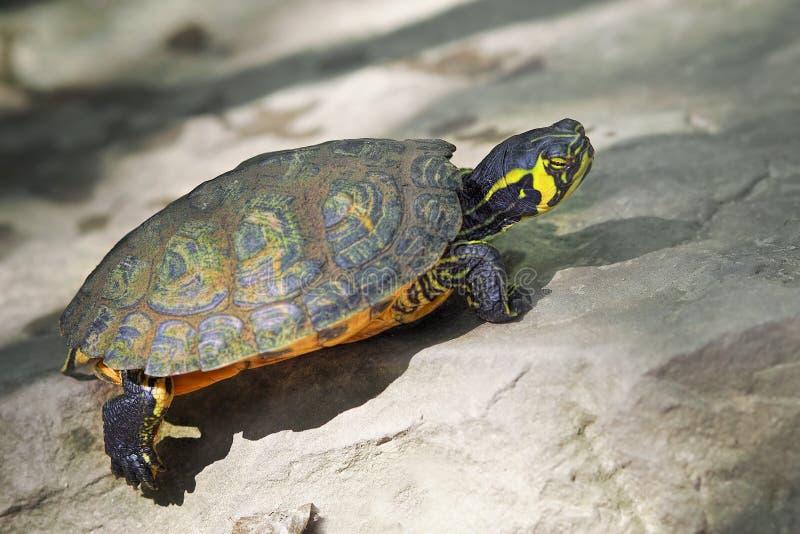 Черепаха дамы стоковое фото rf