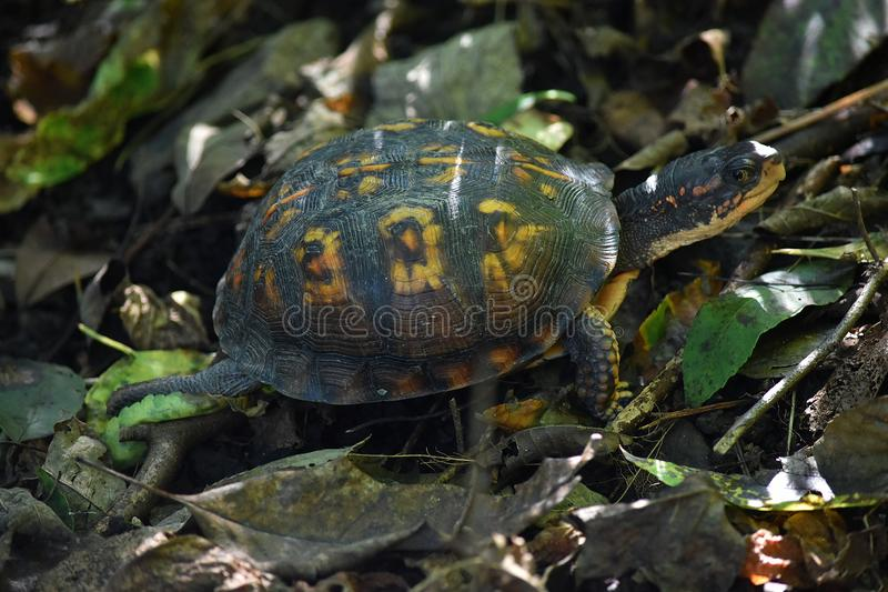 Черепаха болота Moseying вперед стоковая фотография rf