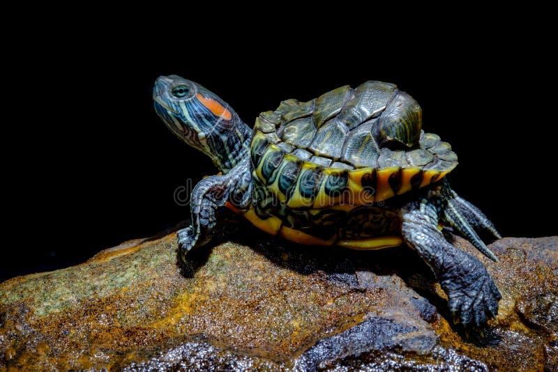 Черепаха в аквариуме стоковое изображение rf