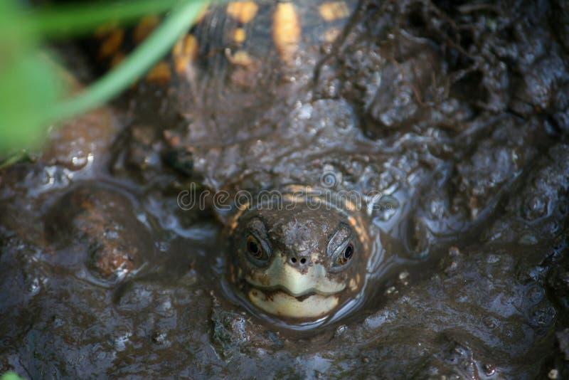 Черепаха в грязи стоковая фотография rf