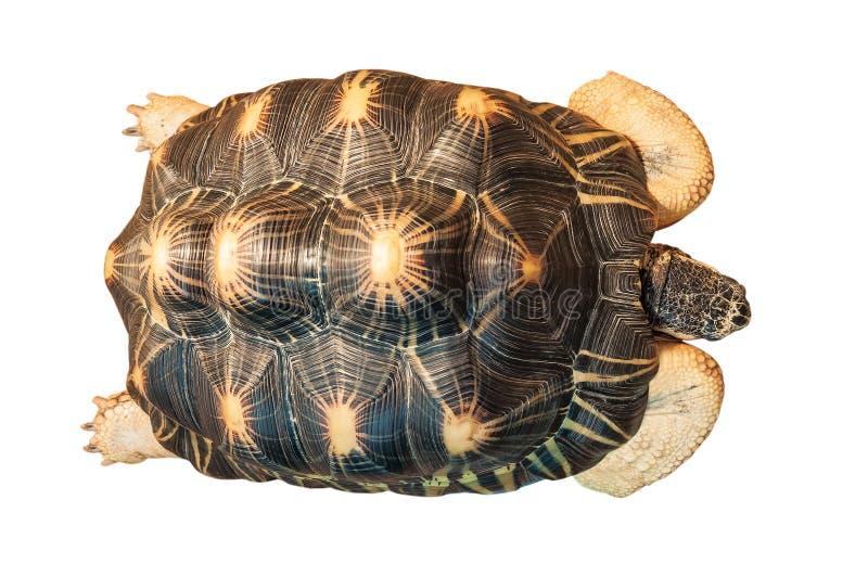 Черепаха в реальном маштабе времени на белизне стоковые изображения rf