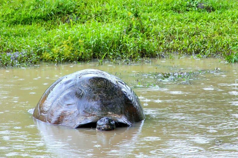 Черепаха Галапагос гигантская в пруде на острове Santa Cruz в Galap стоковые изображения