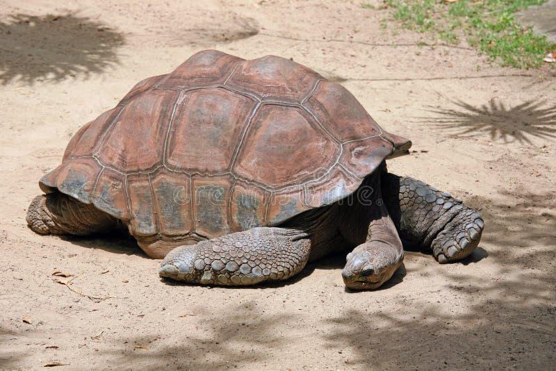 Черепаха Галапагос стоковые фотографии rf