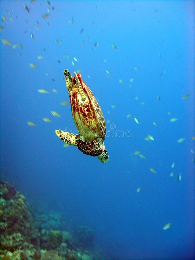 черепаха глубокого подныривания стоковые фото