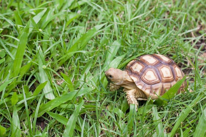 Черепаха гуляя на траву стоковые изображения
