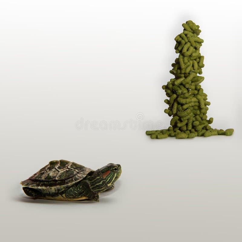 черепаха еды голодная смотря стоковое изображение rf