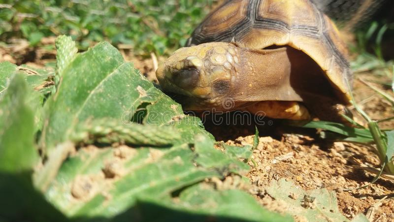 Черепаха ест стоковые изображения