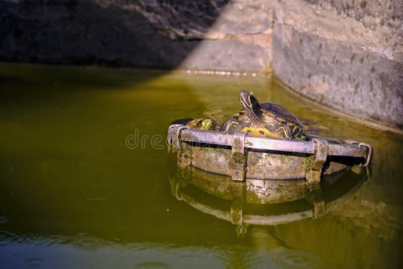 Черепаха, загорая в районе парка стоковые фотографии rf