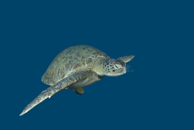 черепаха заплывания зеленого моря стоковая фотография rf