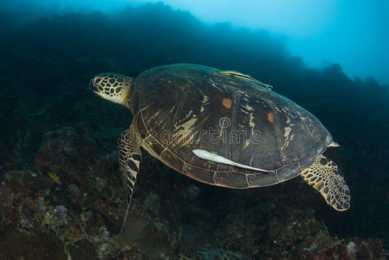черепаха заплывания зеленого моря стоковая фотография