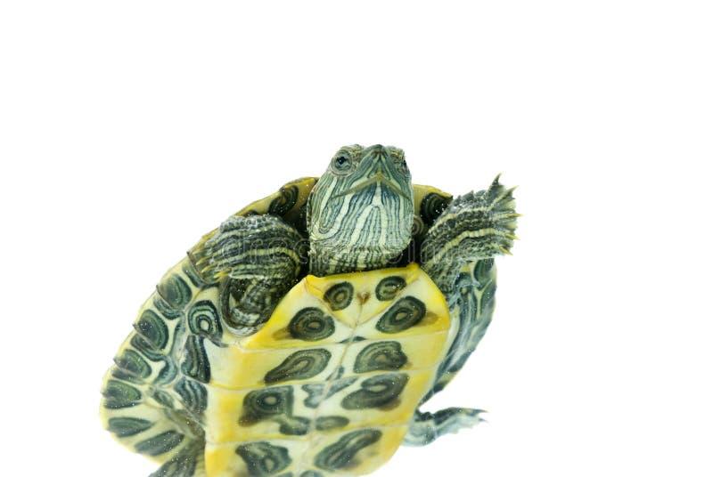 черепаха заплывания стоковое изображение rf