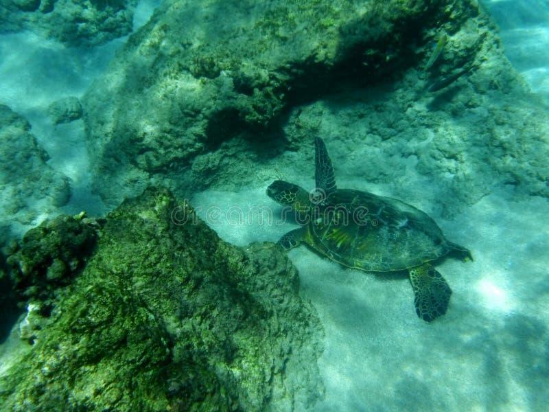 Черепаха заплывания стоковые фотографии rf