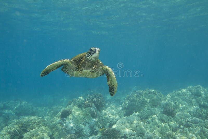 черепаха зеленого моря стоковая фотография rf