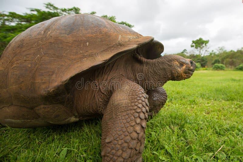 Черепаха земли Галапагос гиганта стоковые изображения