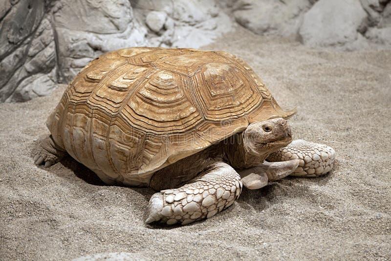 Черепаха земли стоковое изображение rf