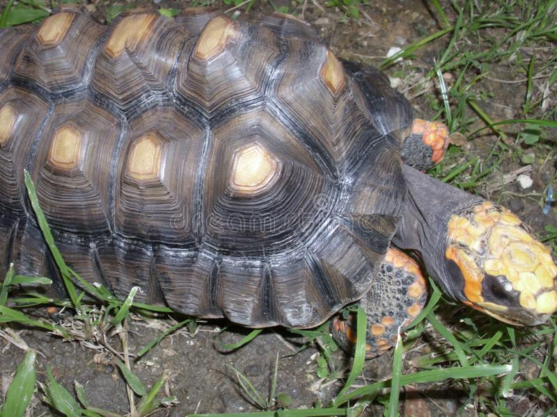 Черепаха идя в траву стоковая фотография