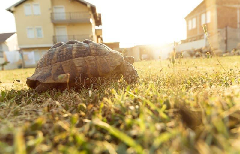 Черепаха идя на зеленую траву на саде стоковое фото