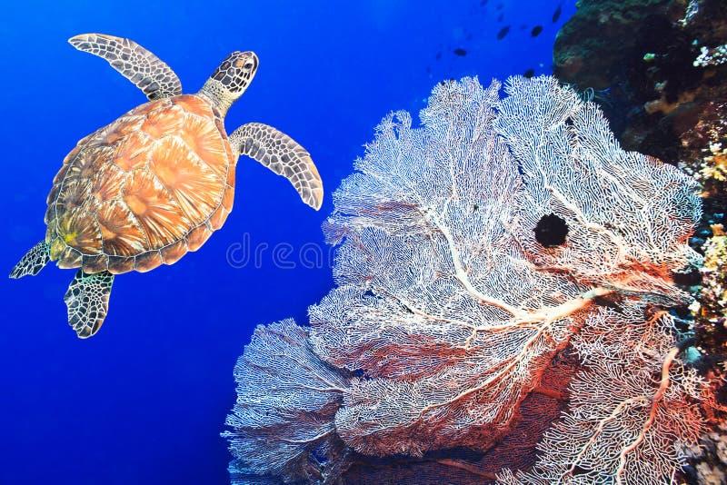 Черепаха и коралл стоковые фото