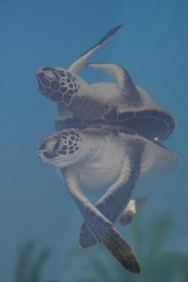 Черепаха и отражение зеленого моря младенца стоковые фотографии rf
