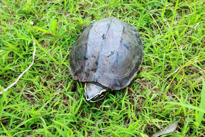 Черепаха идя на траву стоковое фото rf