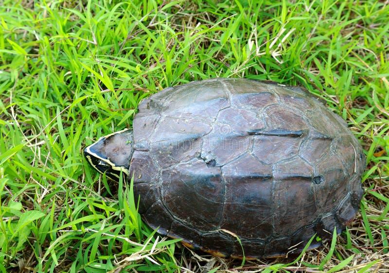 Черепаха идя на траву стоковая фотография