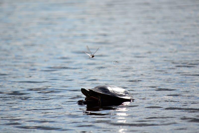 Черепаха и Dragonfly стоковое фото