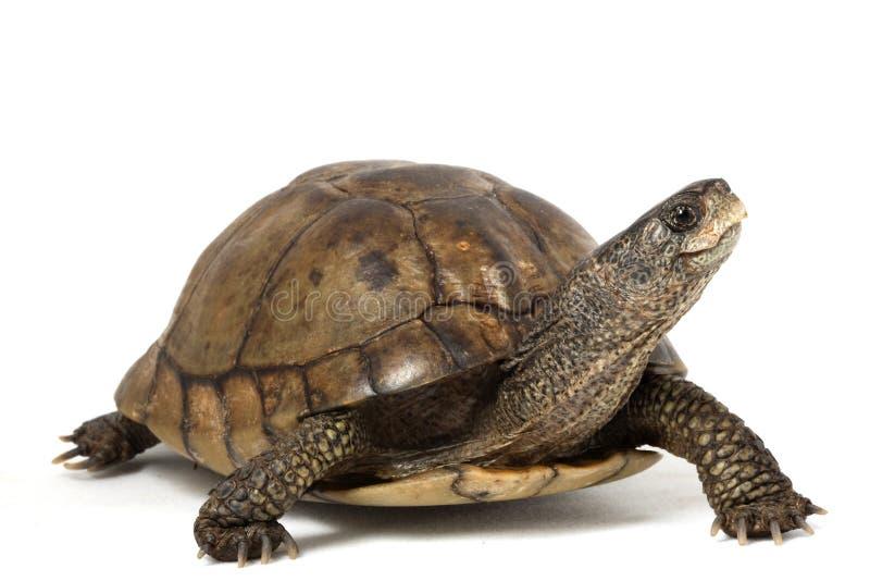 черепаха коробки coahuilan стоковая фотография
