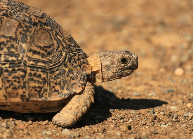 Черепаха леопарда вызвала также черепаху горы в южно-африканском национальном парке стоковые фотографии rf