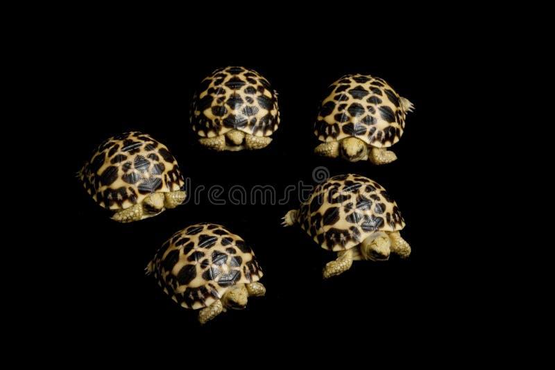 черепаха леопарда стоковое изображение rf