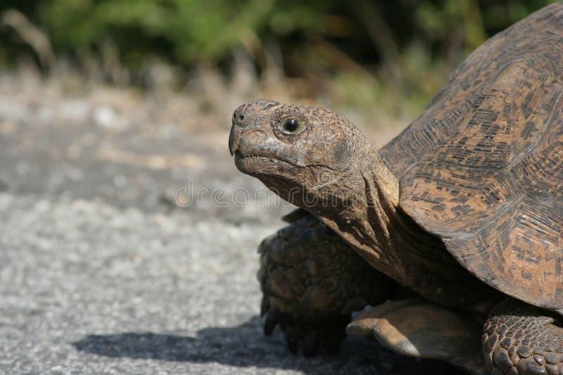 черепаха леопарда стоковое фото rf