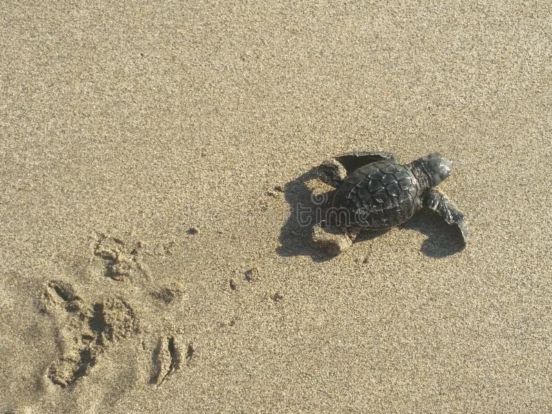 Черепаха младенца на пляже стоковое изображение rf