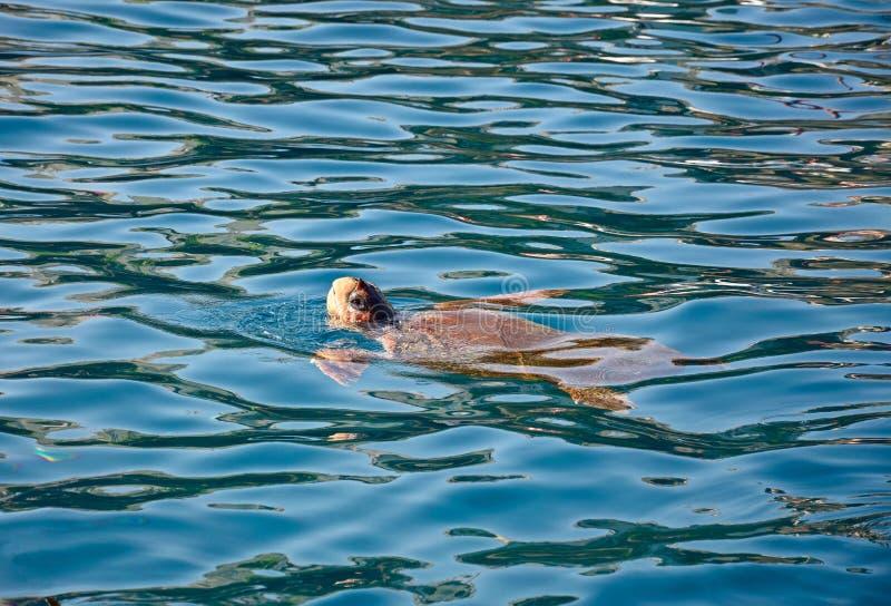 Черепаха морской черепахи, Бали, Крит стоковое фото