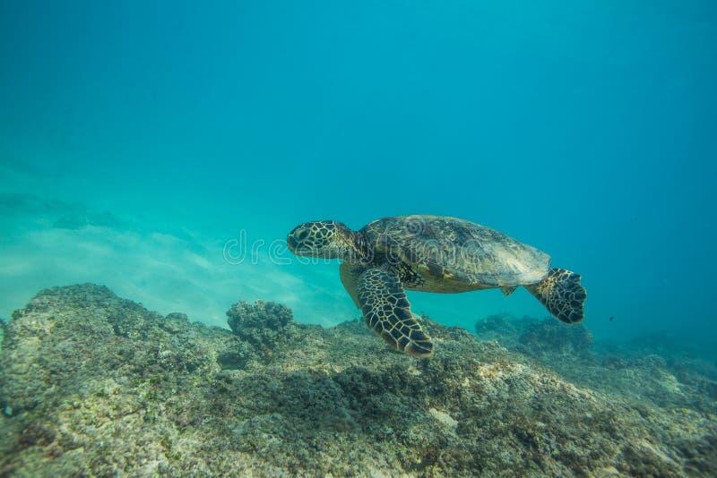 черепаха моря подводная стоковые фото