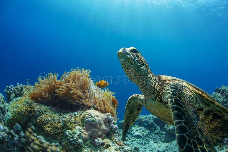 черепаха моря подводная стоковые изображения rf