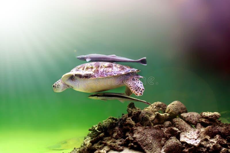 черепаха моря стоковое фото