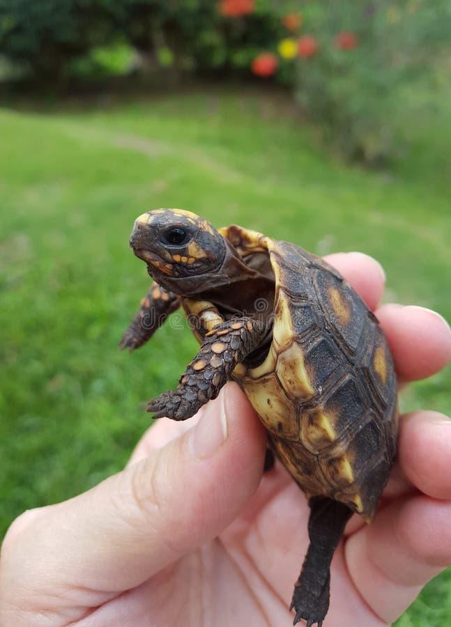 Черепаха младенца, morrocoy стоковая фотография